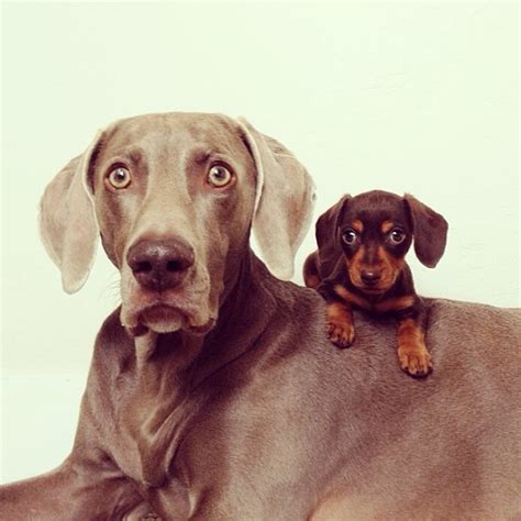 dogs age study shows big dogs age quicker and die younger than small breeds