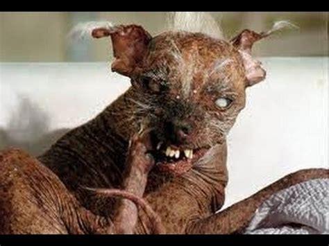 world s oldest pug has the tongue doovi