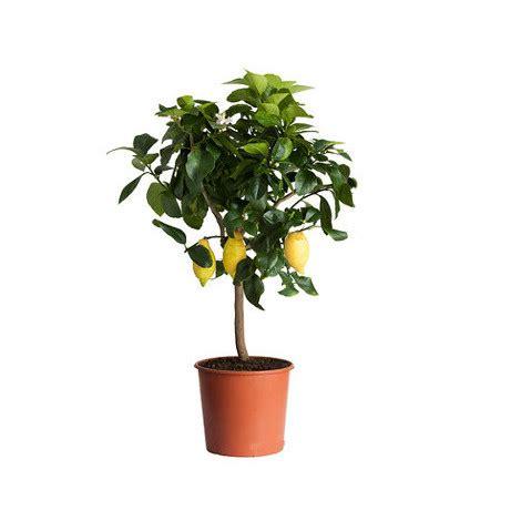 albero di limoni in vaso pianta di limone in vaso 248 20 lv20c giardino e piscine