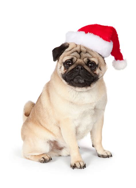 santa pug dogs animal stock photos kimballstock