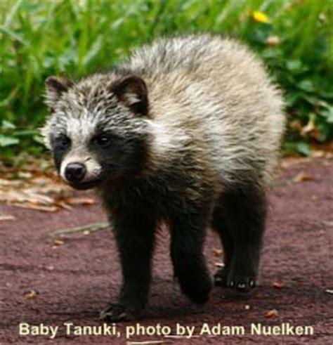1000+ images about tanuki on pinterest | japanese raccoon