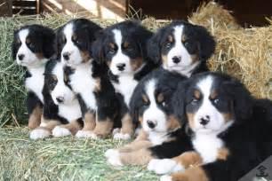 Bernese mountain dogs ultimate cheat sheet bernese mountain dog