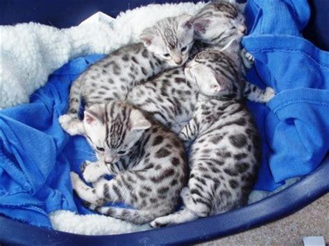 baby bengal kitten prices bengal cat breeders australia bengal kittens for sale
