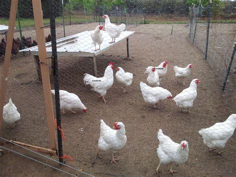 minnesota page 403 backyard chickens