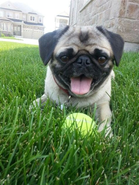 pug happy 17 best ideas about happy birthday pug on pug puppies baby pugs and happy