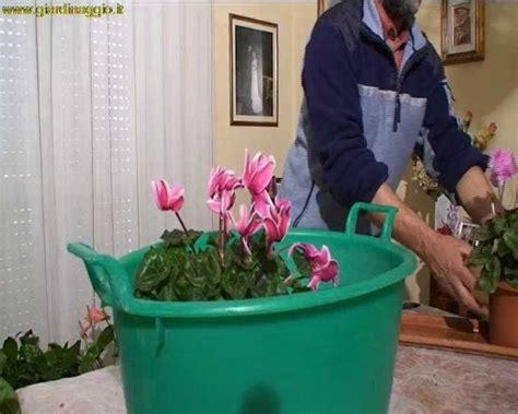 cura ciclamino in vaso ciclamino piante appartamento ciclamino