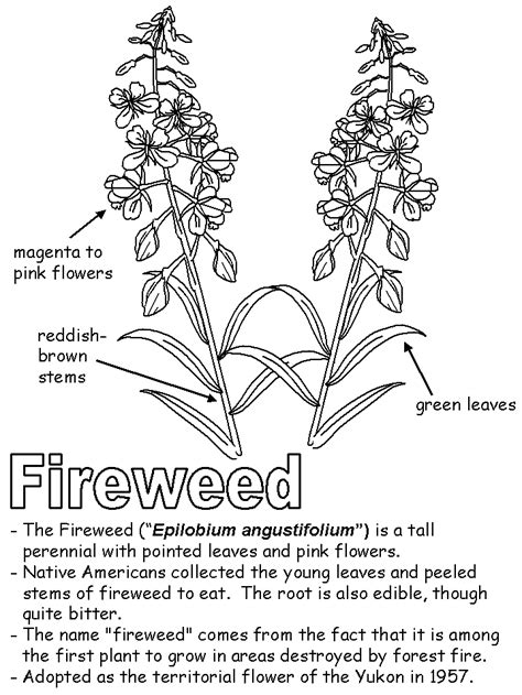 Fireweed with labels