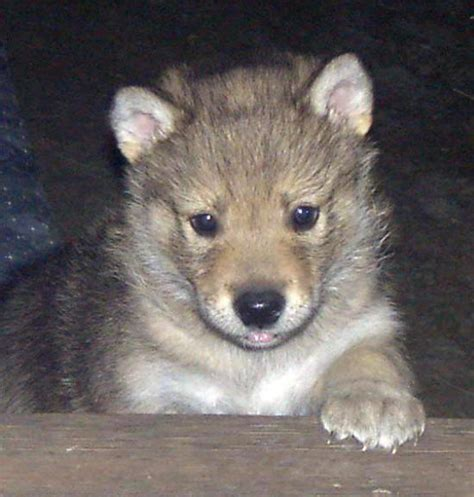 wolf puppies carol s wolf den s puppies