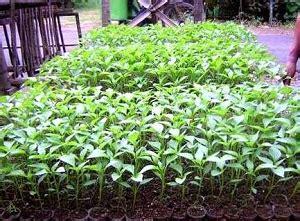 Bibit Cabe Siap Tanam mengenal bibit cabe unggul dari benih part 1 tanah kaya