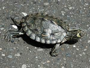 barbour s map turtle