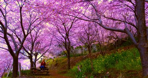 Pohon Cherry By One Home cherry blossoms in japan limitless duo