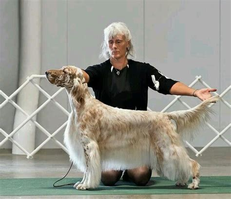 setter dog grooming 67 best images about grooming fox terrier on pinterest
