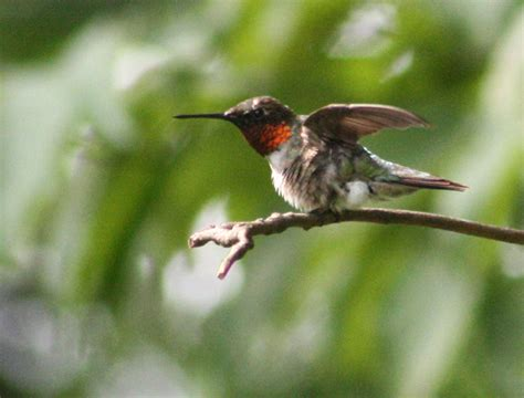 vickie henderson art peak hummingbird viewing days