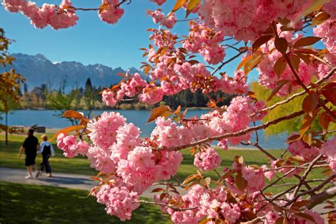 cherry tree nz reviews seven reasons to visit during new zealand springtime dauntless jaunter