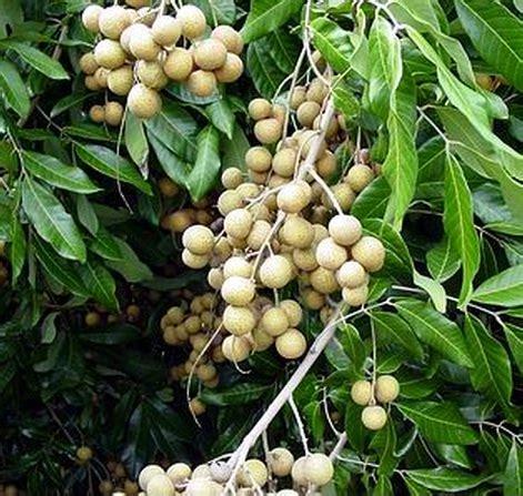 Tanaman Kelengkeng Longan tanaman kelengkeng pingpong bibitbunga