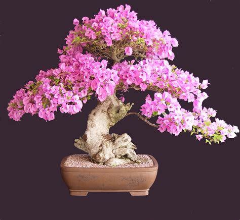 Sale Pot Bunga Mini pink boug bonsai northside nursery