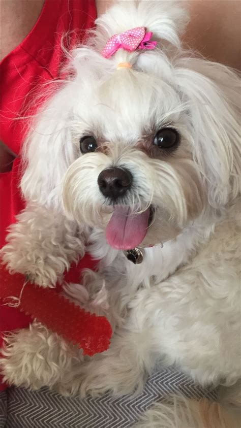 shih tzu maltese mix rescue 25 best ideas about shih tzu maltese mix on bichon shih tzu mix yorkie