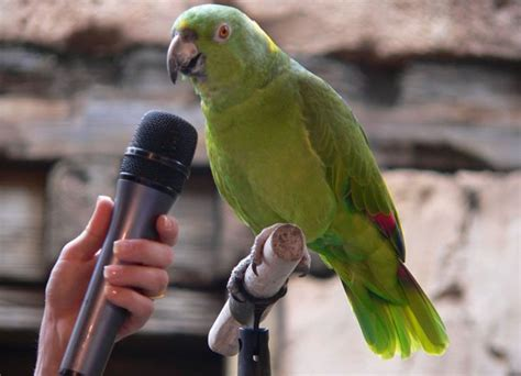 why are parrot such great imitators of humans