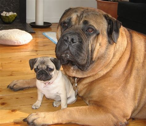mastiff and pug pug and mastiff things