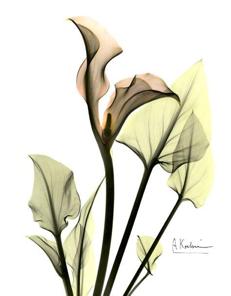 Albert Koetsier | calla lily by albert koetsier susan spiritus gallery