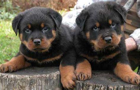 rottweiler eyebrows anjing rottweiler jual anak anjing artikel anjing adopsi anjing anjing hilang