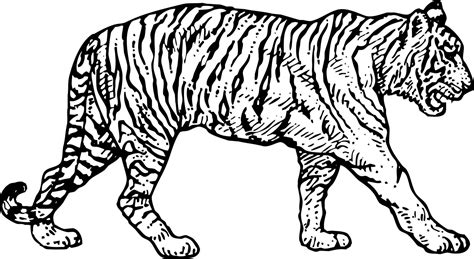 tiger color 38 awesome and free tiger coloring pages gianfreda net