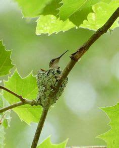 (link) humming bird feeding frenzy ~ mother hummingbird