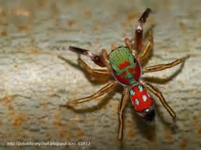 colorful spider colorful jumping spider siler semiglaucus sumatra indonesia
