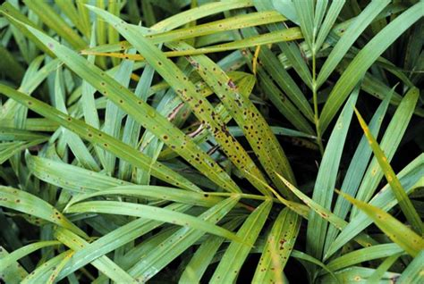 Deficiency Diseases In Plants - leaf spots and leaf blights palm symptoms
