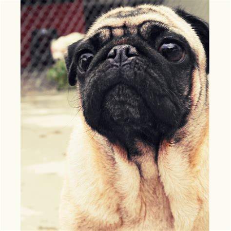 similar to pug this pug would like to what you re thinking about about pug