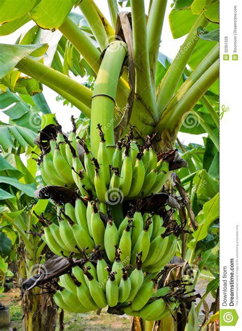 banana tree fruit banana tree with fruit royalty free stock photos image