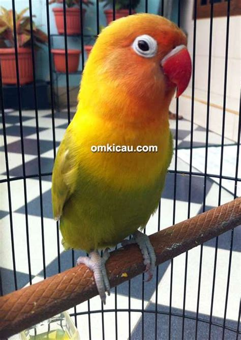 download mp3 lovebird download suara lovebird andromeda ngekek panjang mp3