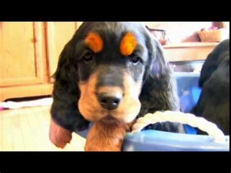 setter dogs 101 dog breeds gordon setter dogs 101 animal planet youtube