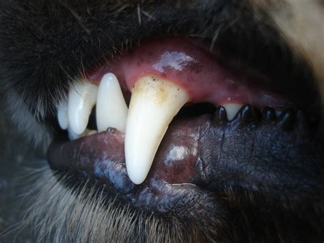 puppy biting stage german shepherd teething guide stages when it stops managing biting