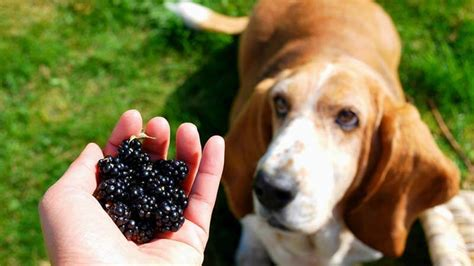 can dogs blackberries can eat fruits complete list of fruits can can t eat