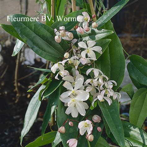 clematis armandii is a beautiful fast growing climber with glossy dark green leaves and sweet
