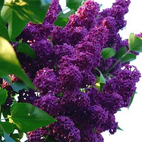 1000 ideas about lilac tree on pinterest lilac bushes perennials and flowering bushes