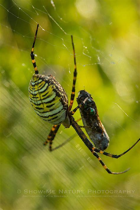 Garden Spider Habits Prime Orb Spider Habitat Pt 2 Show Me Nature Photography