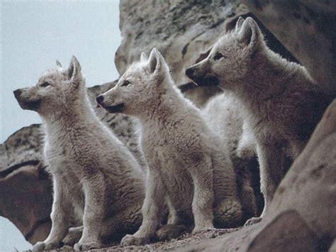 wolf s wolf facts the garden of eaden