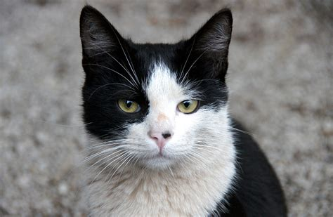 Cat 1 Named by Black And White Cat Www Pixshark Images