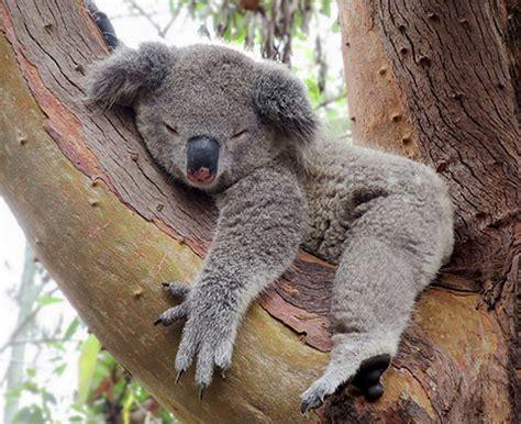 koala schlaf schlafen um wach sein zu k 246 nnen expat aktuell