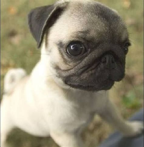 tiny baby pugs 17 best images about eeeee on rabbit kawaii and hedgehogs