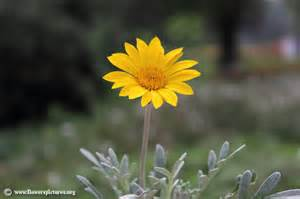flower pictures gazania picture 11