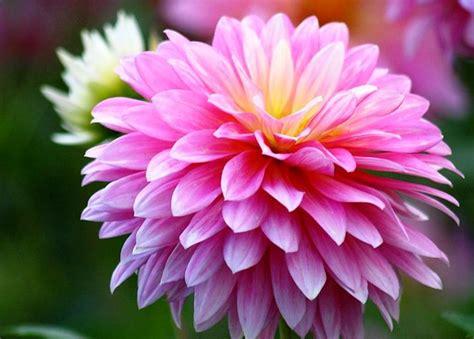 wallpaper bunga full hd gambar bunga krisan pink yang indah pernik dunia