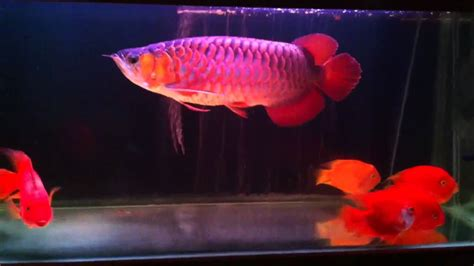 Bibit Arwana Jakarta pelapak jual ikan arwana 10cm 45cm