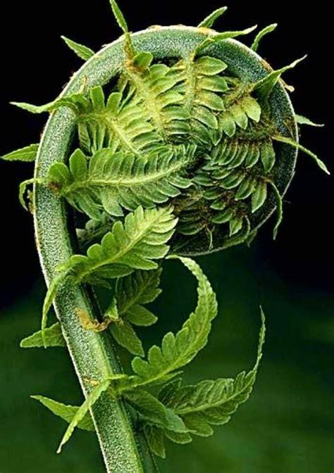 fiddlehead fern tattoo inspiration 1 pinterest ferns