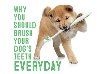 how often should you brush your dogs teeth best food for shiba inus my shiba inu