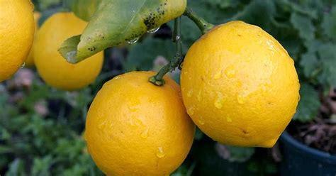Teh Buah Lemon Kering 50g manfaat buah lemon bagi kesehatan