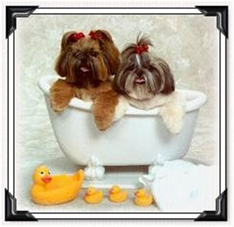 how to bathe a shih tzu shih tzu grooming give your shih tzu puppy a bath by doggie bow ties