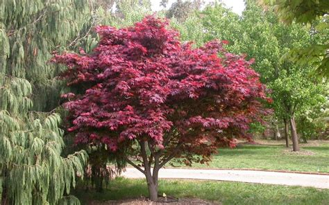 buy red select japanese maple 1 gallon japanese maples buy plants online